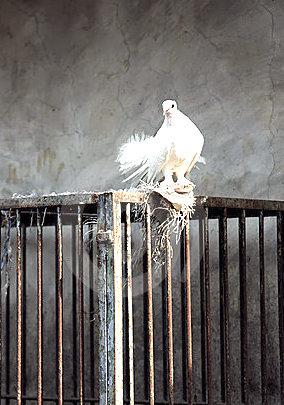 colombe-et-cage-de-blanc-10785464