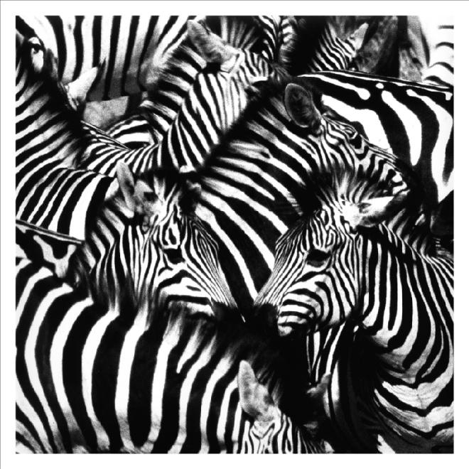 Animaux-africains-art-peinture-à-l-huile-Belle-noir-et-blanc-zèbres-tableaux-imprimés-sur-toile